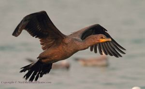 3-Double-Crested-Cormorant.jpg